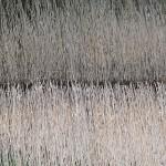 Fenland Reeds