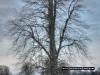 avebury-tree
