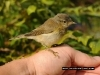 garden_warbler