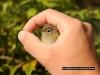 garden_warbler_in_hand