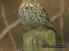 Songthrush - plumage detail