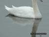 swan_reflection_1