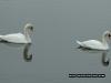 swan_reflection_2