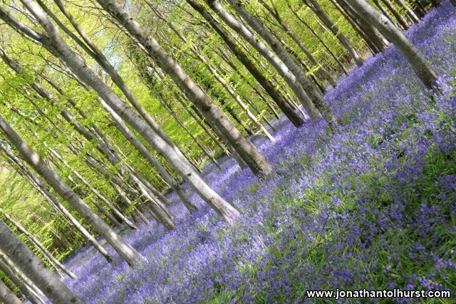 bluebells-may-champernhayes-4