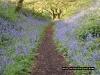 bluebells-coneys-castle-4