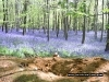 bluebells-may-champernhayes-2