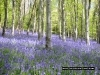 bluebells-may-champernhayes-3