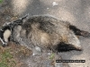 another-dead-badger