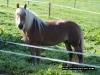 horse-maine