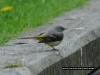 grey-wagtail-bird