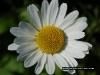 daisy_flower_426
