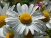 daisy_flower_426_2