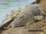 Mackay Gooseponds Crocodile