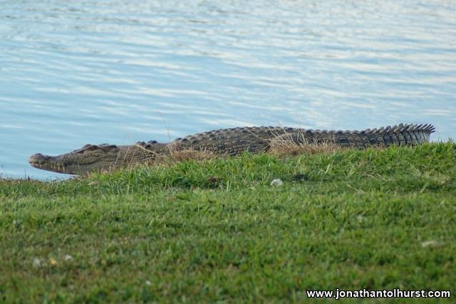 mackay-gooseponds-crocodile-01