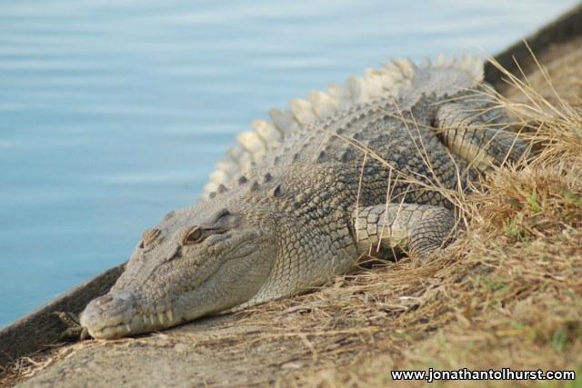 mackay-gooseponds-crocodile-02