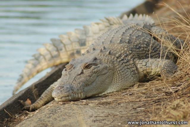 mackay-gooseponds-crocodile-03