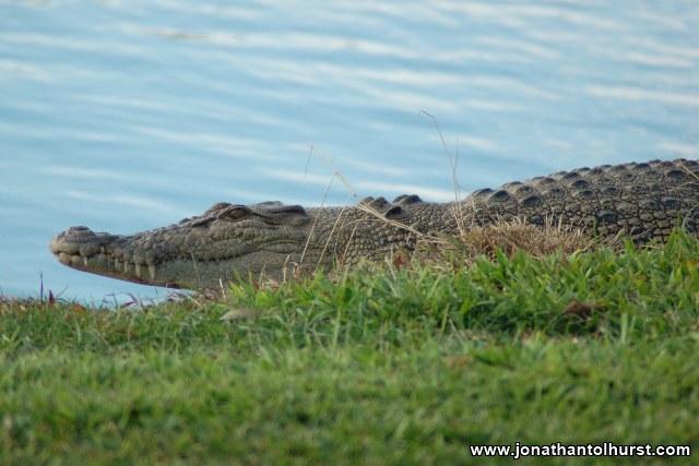 mackay-gooseponds-crocodile-06