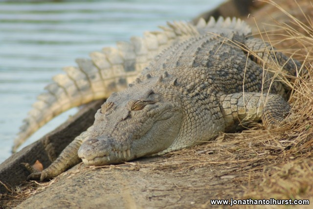 mackay-gooseponds-crocodile-07