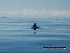 dolphin-fin