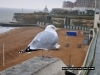 Broadstairs Seagull