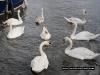 george_goose_swan
