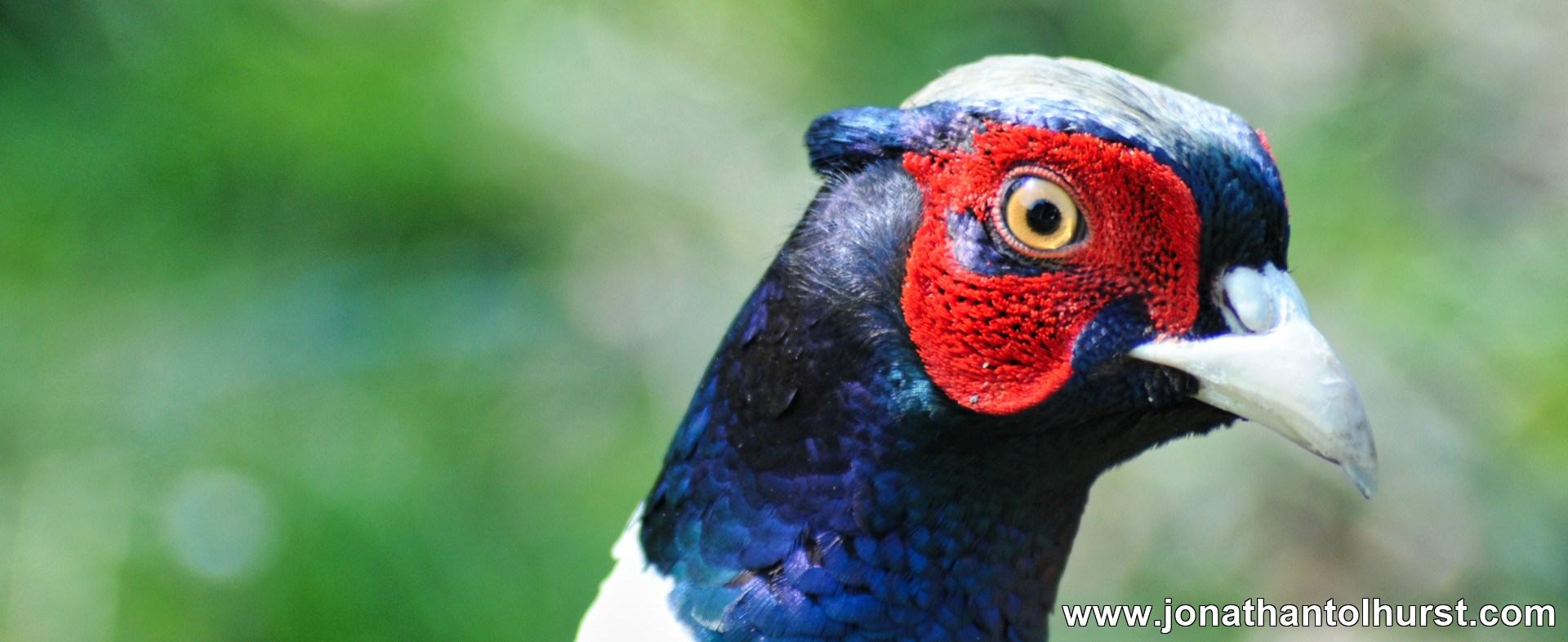 Pheasant Dorset Jonathan Tolhurst Photography